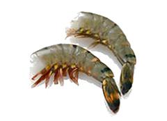 ディスカバリー 完全海水養殖 無頭ブラックタイガーエビ 特級品